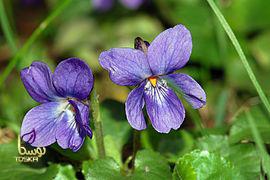 گل بنفشه دارویی
