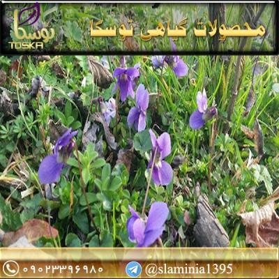 فروش بنفشه در مازندران